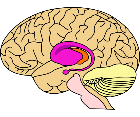 Location of the dorsal striatum, where memory may be sent during multitasking