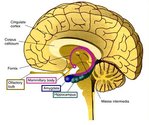 location of the hippocampus in the brain, where memory is sent when not multitasking